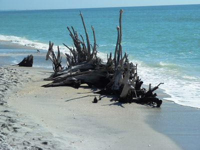 Driftwood on a beach on Charlotte Harbor.