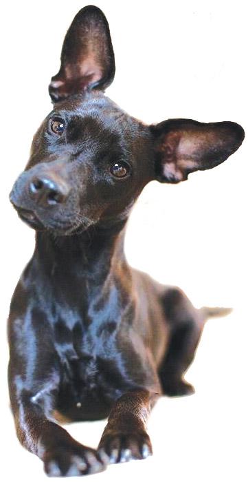 patterdale-pup