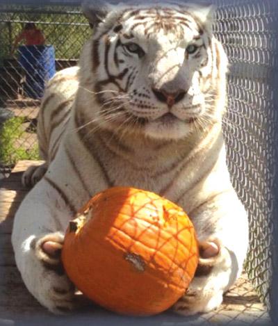 Shadow, a white tiger, seems very fond of his pumpkin. Photo courtesy of Elmira's Wildlife Sanctuary.