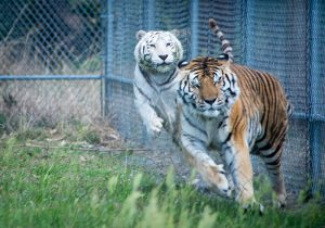 Tigers playing at Elmira's Sanctuary near Wimauma.