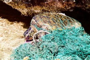 NOAA MARINE DEBRIS PROGRAM PHOTO Marine debris can entangle and harm marine organisms. For air-breathing animals, such as the green sea turtle, entanglement in debris can prevent them from being able to swim to the surface, causing them to drown.