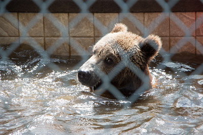 Stanley loves his pool. He is a two-year-old grizzly bear who very suddenly needed a home. The Florida Fish and Wildlife Commission often calls Robin Greenwood when they happen upon exotic animals in need of help because sanctuaries have been closed down or people have discovered that a grown bear or a tiger may not make a good house pet. Mitch Traphagen photo.
