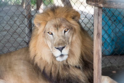 They are not kittens and puppies, and Elmira's is not a petting zoo. You won't be able to hug a panther. But for these animals, there is no wild place to which they can return. This is their forever home. Above, Casper the lion will soon be 13 years old. Mitch Traphagen photos.