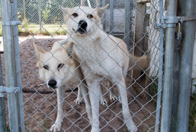 Two timber wolves, most likely bred as pets, are curious but still afraid of people they don't know.