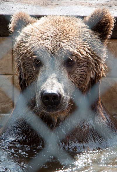 How often does anyone get an opportunity to camp out with lions, tigers and bears (including a pretty happy grizzly bear named Stanley)? On Nov. 22, you can at Elmira's Wildlife Sanctuary. Mitch Traphagen file photo.
