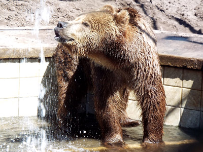 Stanley is a two-year-old grizzly bear who loves his pool, his toys and his caretakers at Elmira's Wildlife Sanctuary. On Nov. 22, you will have the opportunity to camp out with him at the sanctuary (he'll sleep in his own cage rather than a tent). Photo courtesy of Elmira's Wildlife Sanctuary.
