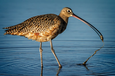 """""""Long Bill Curlew"""" by Carol Feldhauser received a perfect score."""