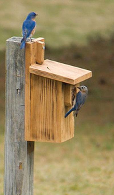 Bluebird-Box