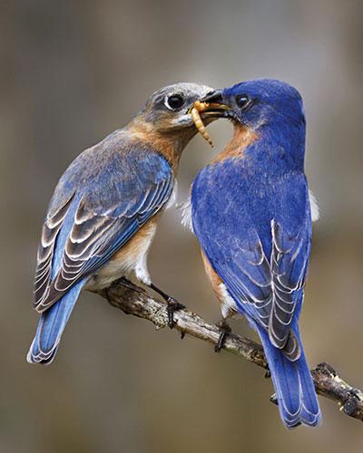 Bluebirds sharing a meal.