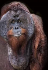 Goyang, the father of the newest orangutan baby, GoJo.