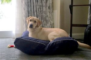 CHIP BARKER PHOTO Scout rests on a luxury dog bed in a pricey hotel in Naples during one of the field trips his volunteer puppy raisers take to train him to be comfortable in all settings. He was so good on this particular trip that other guests barely knew he was there.