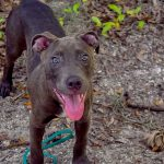 Most likely a pit bull terrier mix, age 3-4 months, the puppy offers a classic pit bull smile for the camera.